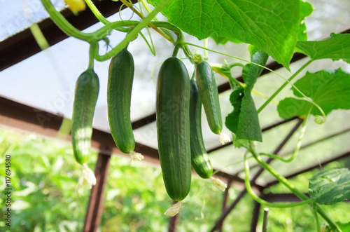 Photo  Close up of green cucumbers in the greenhouse.
