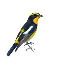Narcissus Flycatcher Bird