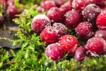 Cranberry Frost Moss. Berries Are On The Bark Of A Tree. Hoarfrost, Snow On The Berries. Natural Background. Macro Background.