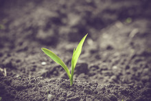 Green Corn Sprout In Black Soil