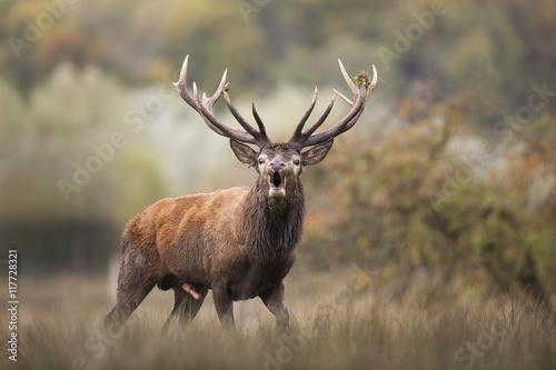 Poster Cerf cerf brame reproduction rut mammifère cervidé sauvage forêt b