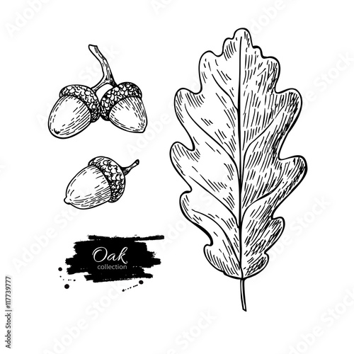 Fotografía  Vector oak leaf and acorn drawing set. Autumn elements.