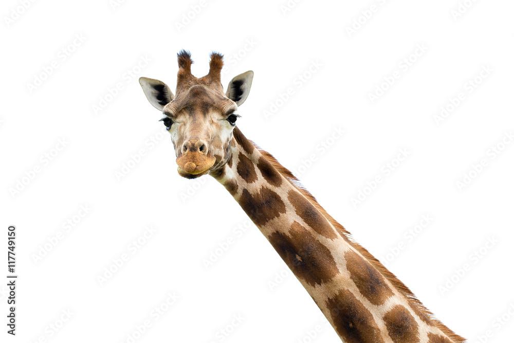 Giraffe portrait wild zoo. Close up shot.