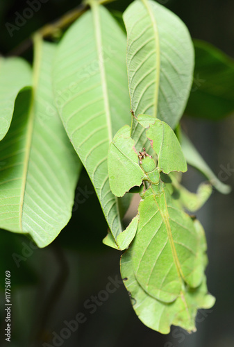 Photo  Phyllium giganteum, leaf insect walking leave