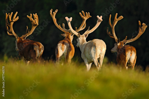 In de dag Hert Red deer stag, bellow majestic powerful adult animal outside autumn forest, big animal in the nature forest habitat, England. Animal with big antlers. Deer with big antlers. Deer in the nature habitat