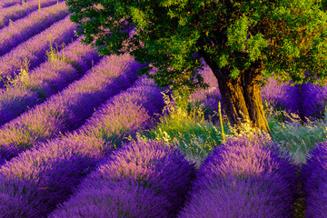 Panel Szklany Lavender field at plateau Valensole, Provence, France