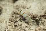 Fototapeta  - babka - rybka gobius przy norce