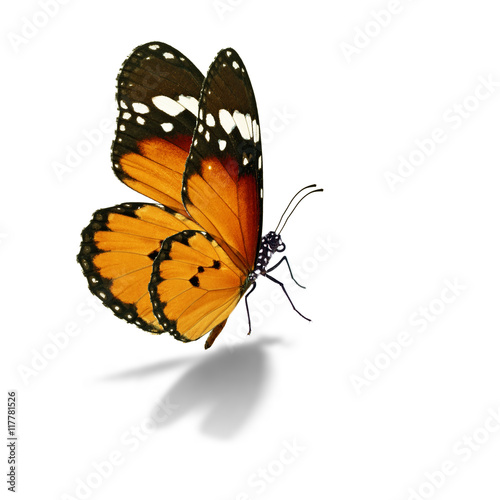 Poster Vlinder Beautiful monarch butterfly isolated on white background