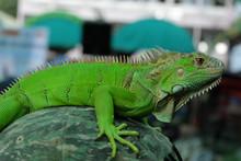 Green Iguana Portrait Closeup On Shoulder
