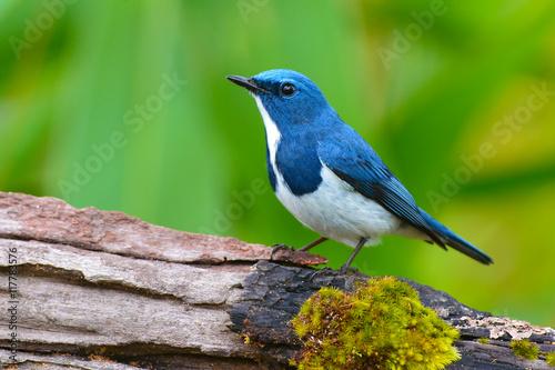 Foto op Plexiglas Vogel Ultramarine flycatcher bird