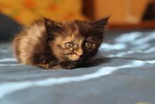 Closeup Cute Tortie Tortoiseshell Kitten