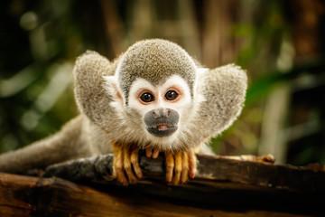 Fototapeta Squirrel monkey in ecuadorian jungle