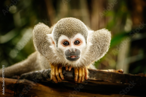 Deurstickers Aap Squirrel monkey in ecuadorian jungle