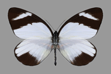 Fototapeta Motyle Butterfly Perrhybris lorena on a gray background