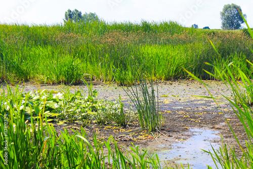 Aluminium Prints Rice fields Aquatic plants in a swamp