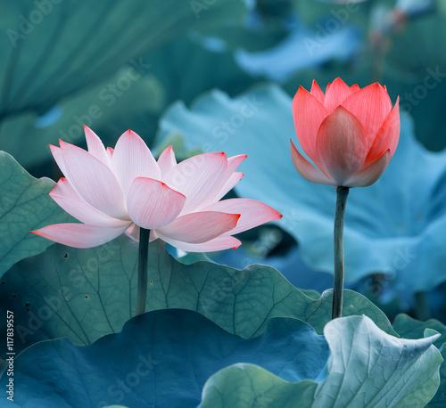 Foto op Canvas Lotusbloem Lotus flower and Lotus flower plants