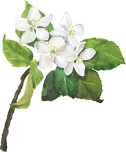 Branch Of Apple Or Pear Tree W...