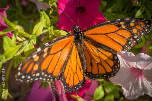Fotografie, Obraz  Closeup Monarch Butterfly