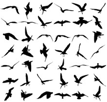 Vector Set - Seagull Silhouette On White Background, Wings Spread. Seagulls In Many Different Position Vector Silhouette Illustration. Big Group Of Seagull Bird.