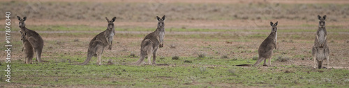 Grey kangaroos in outback Australia