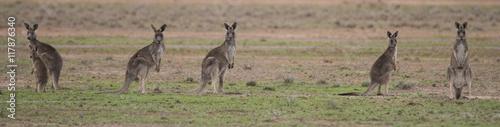 La pose en embrasure Kangaroo Grey kangaroos in outback Australia