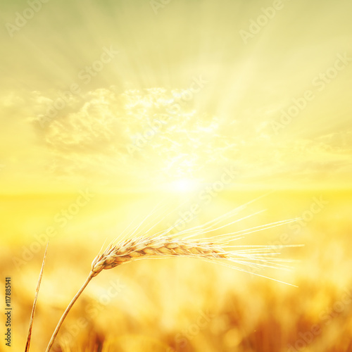 Tuinposter Zwavel geel sunset over harvest field