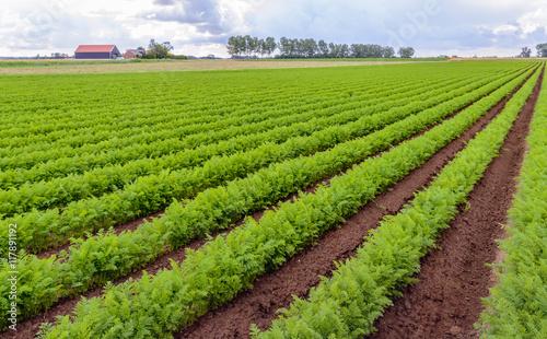 Foto auf Gartenposter Landschappen Rows of bright green carrot plants in a Dutch field