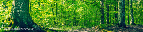 Papiers peints Forets Green beech forest in a panorama scenery