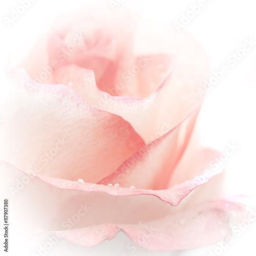 Fototapeta Rose background.