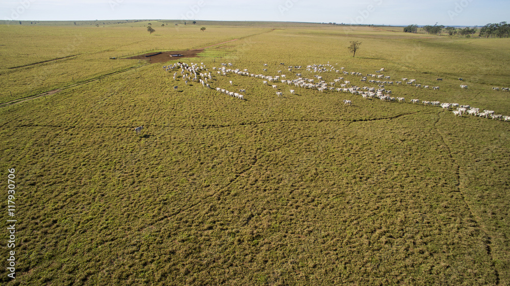 Fotografija  Cattle on pasture in the state of mato grosso in Brazil. July, 2