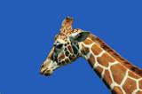 Fototapeta Zwierzęta - Łeb żyrafy z profilu na tle błękitu 2