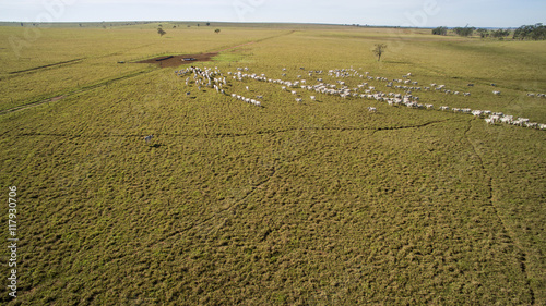 Fotografia  Cattle on pasture in the state of mato grosso in Brazil. July, 2