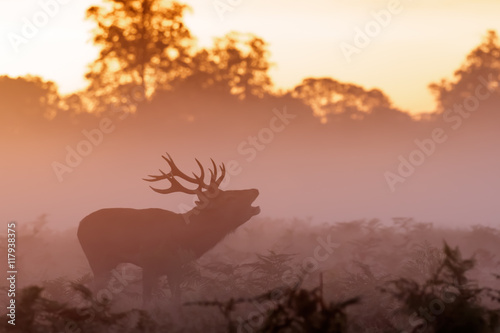 Wall Murals Bestsellers Moody silhouette of Red Deer rut stag (Cervus elaphus) bugling on a misty morning