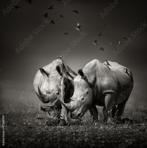 Photo sur Toile Rhino Two Rhinoceros with birds in BW