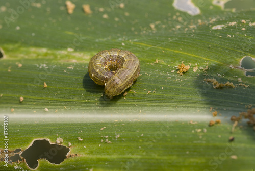 Fall armyworm Spodoptera frugiperda (Smith 1797) on the corn leaf
