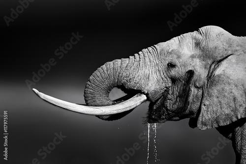 Foto op Aluminium Olifant Elephant bull drinking water