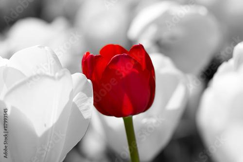 tulipany-piekne-czerwone-tulipany-tulipany-kolorowe-tulipany-w-sprin