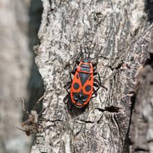 Gemeine Feuerwanze, Pyrrhocoris Apterus