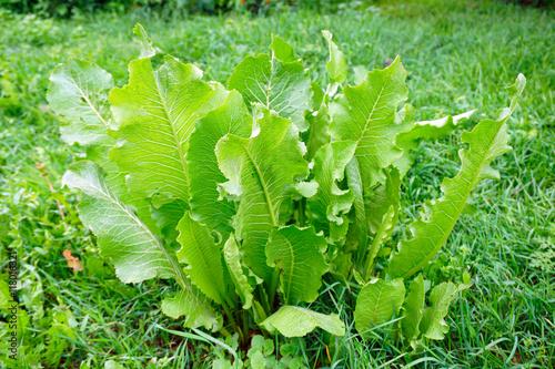Fotografia Juicy leaves of horseradish in the garden