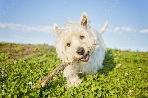 Fototapeta west highland white terrier a very good looking dog obraz