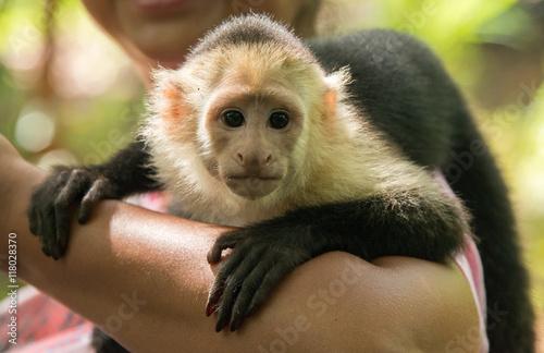 Fotografering  Cute Capuchin Monkey