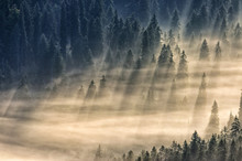 Coniferous Forest In Foggy Mou...