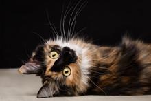 Main Coon Kitten Liegend Auf Dem Rücken