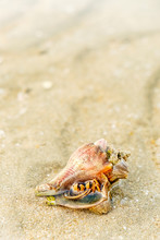 Hermit Crab In A Screw Shell, ...