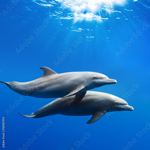 Photo sur Aluminium Dauphin a pair of dolphins playing in sunrays underwater