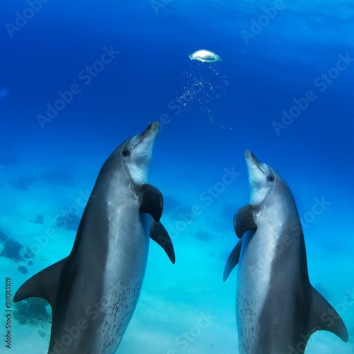 beautiful dolphins playing with air bubbles underwater Poster