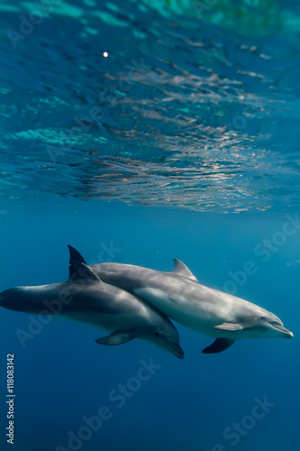 Two dolphins underwater in blue sea under water surface