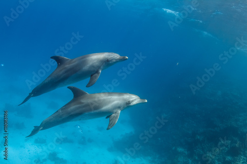 Pair of wild dolphins underwater in deep blue sea. Aquatic marine animals in nature