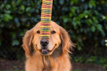 Golden Retriever Dog balancing cookies on his nose