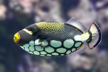 Clown Triggerfish (Balistoides...